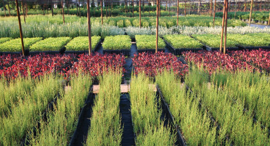 Sede storica di Santa Giustina in Colle (PD) – Giovani piante in vaso e radice nuda