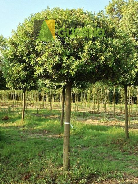 Quercus ilex leccio vivai ivano guagno for Vivaio alberi