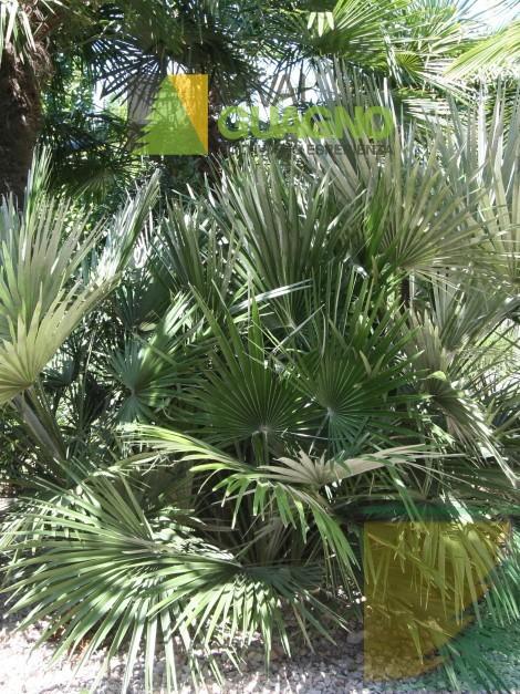 Chamaerops humilis palma nana palma di san pietro for Palma di san pietro