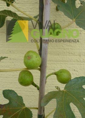 Ficus carica particolare frutti astone vaso 18   € 5,00 (2)