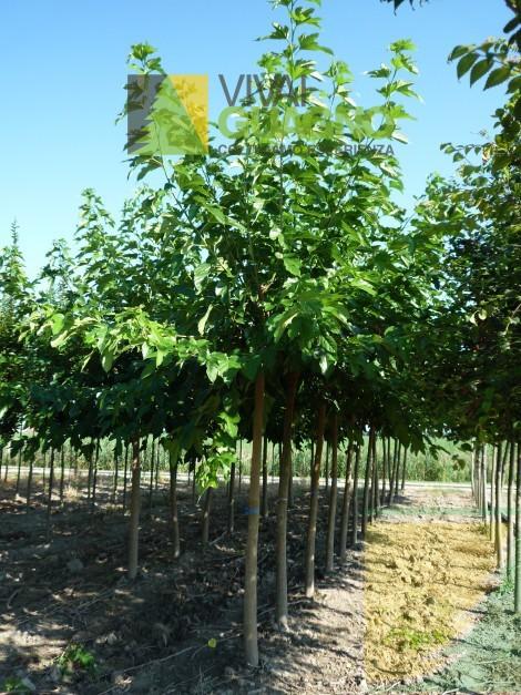 Morus platanifolia gelso a foglie di platano vivai for Gelso pianta
