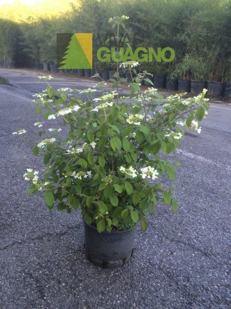 viburnum plicatum watanabe vivai ivano guagno. Black Bedroom Furniture Sets. Home Design Ideas