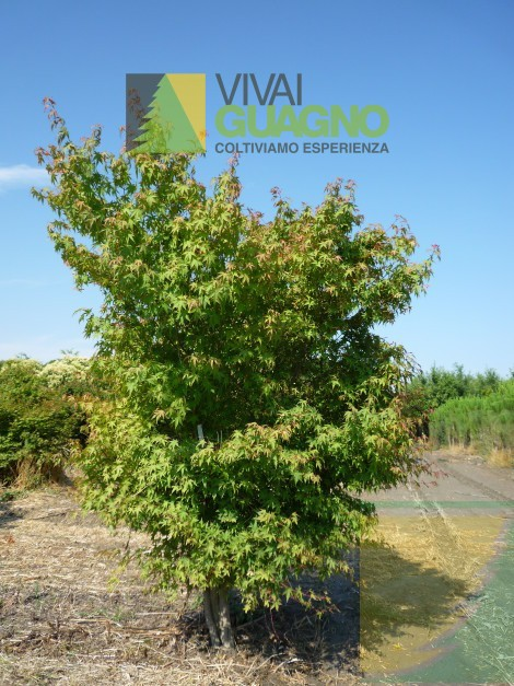 Acer palmatum acero giapponese vivai ivano guagno for Acero giapponese