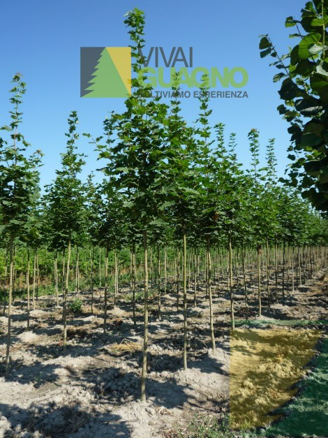 Acer platanoides acero riccio acero platanoide acero for Acero riccio