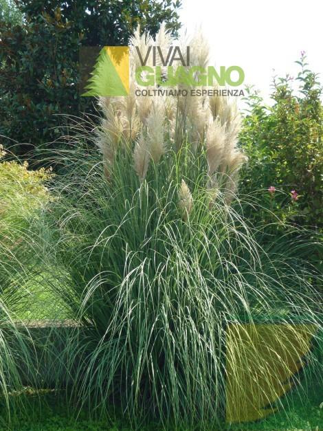 Cortaderia selloana erba della pampas vivai ivano guagno for Erba della pampas riproduzione