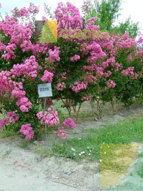 lagerstroemia indica rosea vivai ivano guagno. Black Bedroom Furniture Sets. Home Design Ideas