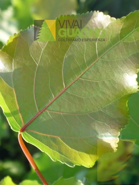 Populus canadensis clone i214 pioppo del canad vivai - Foglia canadese contorno foglia canadese ...