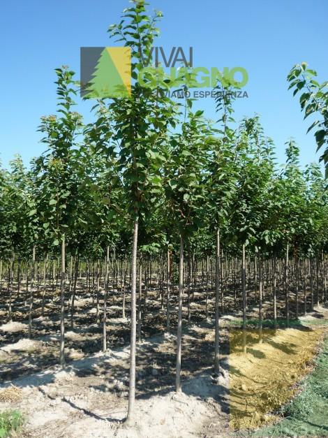 Piante Di Ciliegio Autofertili : Prunus avium ciliegio selvatico vivai ivano guagno