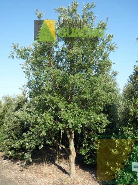 Quercus suber quercia da sughero sughera vivai ivano guagno - Sughero pianta da giardino ...