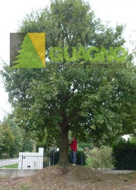 2013-10-08 Quercus cerris cfr 150 €4500 (1)