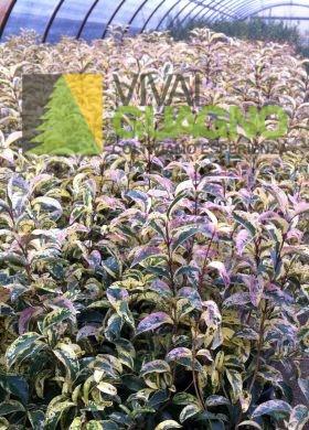 Ligustrum japonicum tricolor-V18-h80 (2)