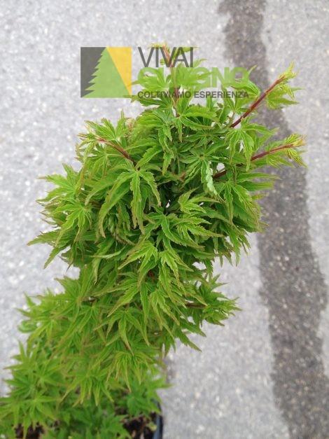 Acer palmatum crispifolium acero giapponese for Acero giapponese