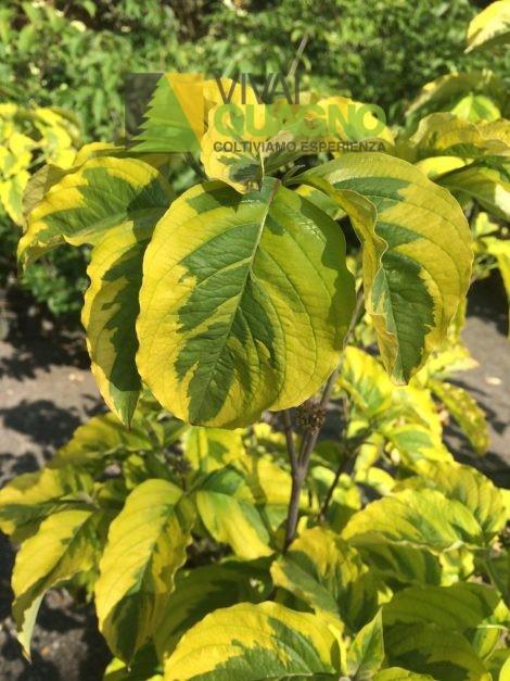 Cornus florida rainbow vivai ivano guagno - Cornus florida rainbow ...